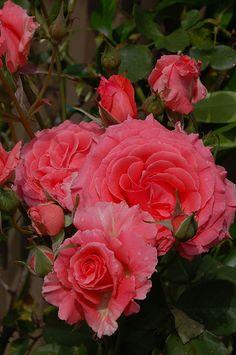 Climbing rose America | Flickr -