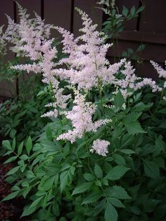 astilbe - shade plant. Plays well with hostas and japanese ferns--this is what we have planted by the fence next to the pond