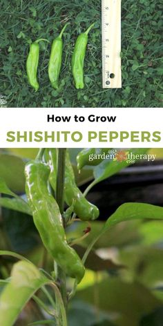 Shishito peppers are all the rage, and for good reason. They are easy to grow and even easier to gobble up in a variety of recipes. These flavorful peppers are classified as hot peppers (as opposed to sweet or banana peppers) but they are not all that spicy. One in every ten does have a bit of a kick though, so these are fun to serve a bunch of at once and see who gets the shishito-eating grin! #gardentherapy #peppers #recipes #pepperrecipes #shishitopeppers #gardenfresh