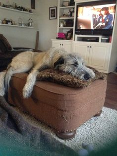 Lounging Irish Wolfhound