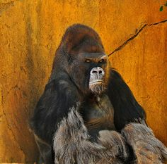 This is Winston, a male gorilla who lives at the San Diego Zoo's Safari Park.