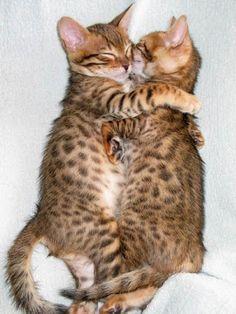 Bengal kitty hugs