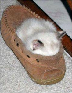 cats sleep - Kitten Shoe
