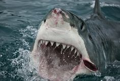Great White Shark (Carcharodon Carcharias) That is more than likely a hook wound on its face. It is very common for sharks to have multiple hooks embedded in the sides of their mouths.