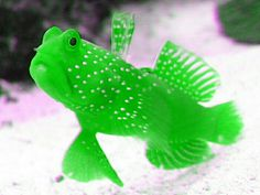 Neon Green Watchman Goby
