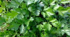 How to Grow Coriander, Growing Cilantro in containers, care, harvest. Perennial Vegetables, Container Gardening Vegetables, Fruits And Vegetables, Vegetable Garden, Growing Coriander, Growing Ginger, Growing Onions, Growing Bell Peppers, Best Flowers For Bees