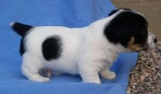 Jack Russell Terrier_white with big black spots.jpg