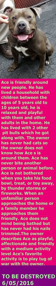 SAFE 6-5-2016 --- Manhattan Center My name is ACE. My Animal ID # is A1075506. I am a male gray and white am pit bull ter mix. The shelter thinks I am about 3 YEARS old. I came in the shelter as a OWNER SUR on 05/28/2016 from NY 10473, owner surrender reason stated was LLORDPRIVA. http://nycdogs.urgentpodr.org/2016/05/ace-a1075506/
