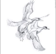 Initial sketch for a series of American wildlife illustrations (Wildlife t-shirt. - Initial sketch for a series of American wildlife illustrations (Wildlife t-shirts series by Buffalo - Duck Drawing, Line Drawing, Drawing Sketches, Painting & Drawing, Bird Drawings, Animal Drawings, Pencil Drawings, Hunting Drawings, Duck Art