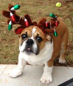 Decorated English Bulldog Puppy...christmas/graduation/birthday... all good reasons for a pup!