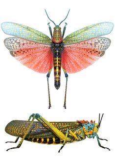 Phymateus saxosus real or fake {fake as in man made}