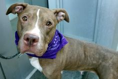 MAMI - A1092166 - - Manhattan  Please Share:TO BE DESTROYED 10/16/16 A volunteer writes: Mami is so calm and collected in her kennel. As I talk to her while opening her door, she slowly gets up from her bed, tail faintly wagging, and her lovely almond shaped eyes all on me. Mami is leashed easily, and off we go for a walk around the block. She pulls on the leash and does her business as soon as we hit the street. A mob of pigeons and minnows feasting on dry bread are met un