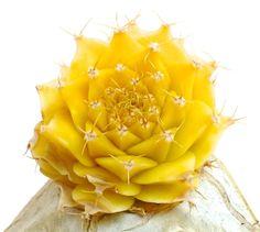 Obregonia denegrii YELLOW variegated !!!!! variegate NO crested ARIOCARPUS Z   eBay