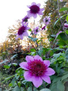 "Plantaholic on Twitter: ""Dahlia Blue Bayou in the garden today 😍 #gardening #Dahlia #Flowers… """