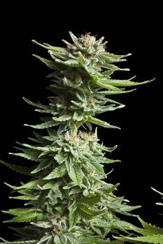 Shining Silver Haze Feminised Seeds by the cannabis breeder Royal Queen Seeds, is a Photoperiod Feminised marijuana strain.This Indica / Sativa strain produces a Medium Indoor: 450 g/m2 yield. These seeds germinate in 9 -10 weeks in Late October.This Feminised seed grows well in Indoors, Outdoors conditions. Additionally it can be expected to grow into a Medium plant reaching 70 - 80 cm.This strain has Sativa / Indica hybrid Genetics. The CBD content of the strain is High (5% +).