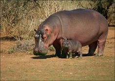 """Hippos can stand in the hot sun all day without getting a sunburn, and now researchers know why: a red-colored glandular secretion known as """"hippo sweat"""" contains microscopic structures that scatter light, protecting the hefty mammals from burns, according to a new study."""