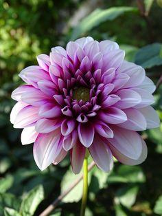Garden, Dahlia, Dahlia Garden, Blossom, Bloom #garden, #dahlia, #dahliagarden, #blossom, #bloom