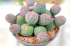 Types of Cactus: Details, Photos (Labelled!) & Varieties | Debra Lee Baldwin, Succulent Expert Succulent Bonsai, Cacti And Succulents, Planting Succulents, Planting Flowers, Cacti Garden, Cactus Planta, Cactus Y Suculentas, Unusual Plants, Exotic Plants