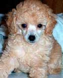 Toy Poodle Training: Learn All About Training Toy Poodles & Taking Care of Them