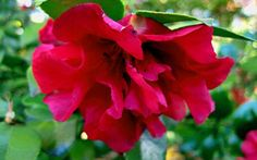 This is one of the darker colored fall blooming camellias, and somewhat shorter than the typical sasanqua. The Fall Camellia season is well. Evergreen Shrubs, Flowering Shrubs, Landscaping Plants, Front Yard Landscaping, Camellia Plant, Front Flower Beds, Garden Online, Large Plants, Plant Sale