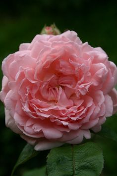 'Eglantyne' David Austin Rose (by malo301, via Flickr) - medium height, bushy and sweetly fragrant. 50+ petals.