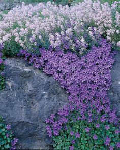 Purple campanula, perennial that is great for trailing over rocks, planters etc.