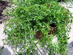 Saturejka Nordic Interior, Korn, Life Is Good, Detox, Plants, Gardening, Lawn And Garden, Plant, Planting