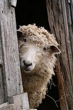 I love sheep, reminds me of when I was a kid going to my grandparent's farm.  They had sheep, cows, chickens and pigs.