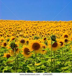 In the Loire Valley, a beautiful sunflower field.  An ocean of sunflowers as far as the eye can see.