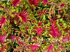 Under The Sea Bone Fish Coleus | RosyDawnGardens.com : Online Coleus Plant Catalog | Rosy Dawn Gardens, | Coleus Growing Specialists