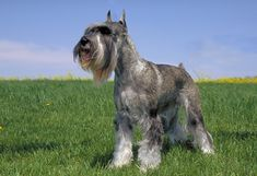 Did you know the Standard Schnauzer is a great breed for those with allergies? Did you know the Standard Schnauzer is a great breed for those with allergies? Schnauzer Breed, Schnauzer Grooming, Standard Schnauzer, Miniature Schnauzer Puppies, Giant Schnauzer, Schnauzers, Dog Grooming, Akc Dog Breeds, Purebred Dogs