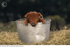 Duroc piglet. I raised pigs and would have one as a pet if hubs would let me. <3