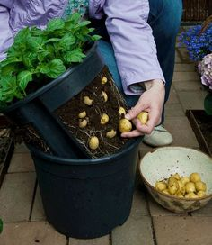 How to Grow Potatoes in Containers :