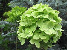 HYDRANGEA paniculata 'Jane' Little Lime Tm