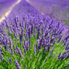 Lavender Seeds, 500 English Lavender // Non-GMO True/Common Lavender, lavandula angustifolia#angustifolia #english #lavandula #lavender #nongmo #seeds #truecommon Lavender Varieties, Lavender Seeds, Growing Lavender, Lavender Oil, Purple Flowering Bush, Burning Bush Shrub, Atlanta Botanical Garden, Full Sun Perennials, Lavandula Angustifolia