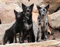 Hungarian Mudi on the rocks. Can hunt, exterminate rodents, and act as a capable herding dog and flock guardian. Unique Dog Breeds, Rare Dog Breeds, English Shepherd, Australian Shepherds, Hungarian Dog, Baby Animals, Cute Animals, Rare Dogs, Herding Dogs