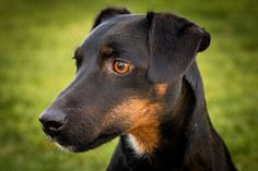 Doberman Pinscher, Terriers, Animals And Pets, Hunting, German, Dogs, Grey Hair, Pet Dogs, Animales