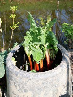 Rabarber - Diana's mooie moestuin Diana, Balcony, Om, Gardening, School, Lawn And Garden, Balconies, Horticulture
