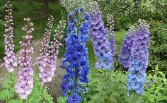 Jaloritarinkannus - 'Delphinium x cultorum' (praktridderspore), 80-180 cm, blomstrer juni-oktober