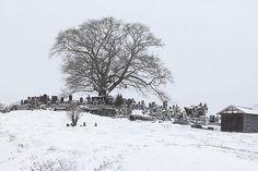 雪桜_七草木桜