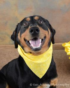 """BREWSKY is a neutered male  Rottweiler mix, 60 pounds and 3.3 years old.  He's house-trained, polite, smart, loving and good with dogs and kids. Brewsky was badly treated and  remains a little nervous about correction.  He'll still need a little gentle training, but he's learning quickly and is eager to please.  Kick back and celebrate with a """"Brewsky"""" of your very own!  Spread the word!      http://www.lastdaydogrescue.org/animals/detail?AnimalID=4489252"""