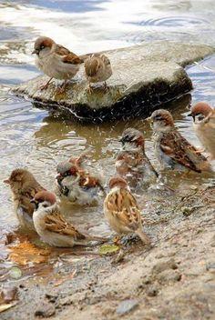 Beautiful little sparrows.  http://myinnerlandscape.tumblr.com/post/105541510818