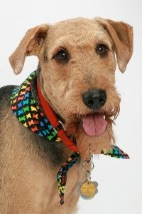 Choo Choo Charlie WI: Airedale Terrier Rescue & Adoption
