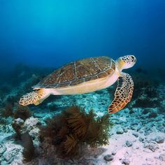 Photo taken in the beautiful waters of #KeyLargo #MolassesReef  We love our #Turtles  #Scuba #ScubaFlorida  Photo by @_misselisa_ by diversdirect