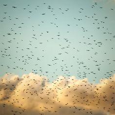 Flying eyes by Wojciech Grzanka - Starlings in flight.