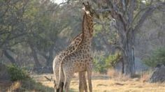 A dramatic drop in giraffe populations over the past 30 years has seen the world's tallest land mammal classified as vulnerable to extinction.