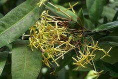 https://faaxaal.blogspot.com/2018/03/ixora-hookeri-pavetta-hookeri-fragrant-ixora.html - Ixora hookeri - Pavetta hookeri - Fragrant Ixora - Plantes de Madagascar - Flore malgache - Arbuste à fleurs jaunes - Photos de Rubiacées - Photo d'Ixora  - Fleur jaune - Photo d'Ixore