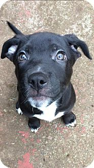 Salem, OR - Border Collie/Pit Bull Terrier Mix. Meet Blaze, a puppy for adoption. http://www.adoptapet.com/pet/17377585-salem-oregon-border-collie-mix