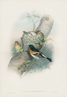 Antique Natural History Prints of Gould Birds 1862
