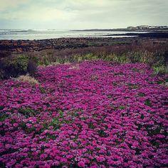#Repost @sammy.moo  Where the flowers pour into the sea #explore #adventure #portfairy #visitvictoria #Australia #destinationportfairy #love3284 #dpf3284 by destinationportfairy http://ift.tt/1UokfWI